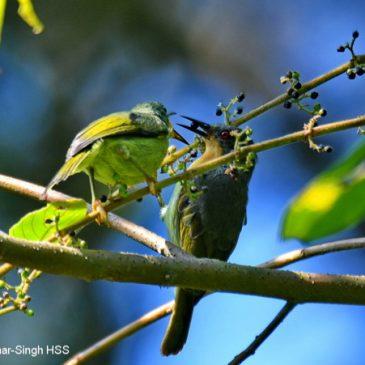 Ruby-cheeked Sunbird feeding on Rough Trema fruits