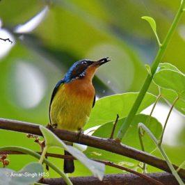 Ruby-cheeked Sunbird – frugivory
