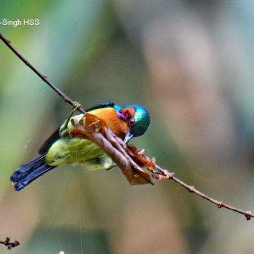 Ruby-cheeked Sunbird – hunting for spiders…