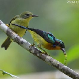 Ruby-cheeked Sunbirds – adult male feeding young