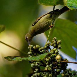 Red-throated Sunbird – female plumage