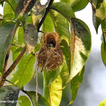 Red-throated Sunbird – nesting outcome