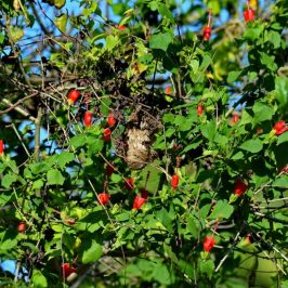 Scarlet-backed Flowerpecker – Nesting Observations