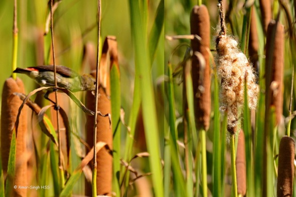 SunbirdScBk-nesting [AmarSingh] 2
