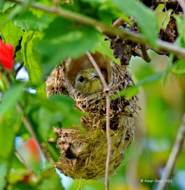 SunbirdScBk-nesting [AmarSingh] 3