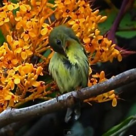 van Hasselt&#8217;s Sunbird feeding on <em>Saraca</em> flowers