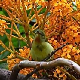 van Hasselt's Sunbird feeding on <em>Saraca</em> flowers