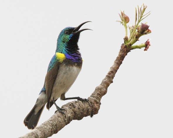 Male White-bellied Sunbird (Courtesy Wikipedia Commons)