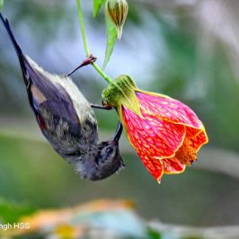 Black-throated Sunbird – nectar sources