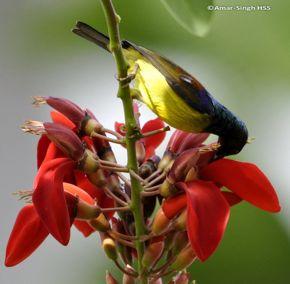 Brown-throated Sunbird in Kuching City, Sarawak, Malaysia