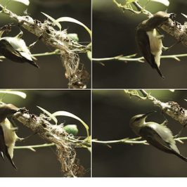 Purple-rumped Sunbird and its strange nesting material