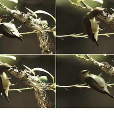 Purple-rumped Sunbird and its strange nesting material