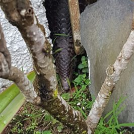 Sunda Pangolin strayed into my garden