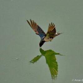 Unusual feeding behaviour of Barn Swallow