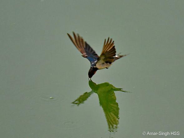 Unusual feeding behaviour of Barn Swallow