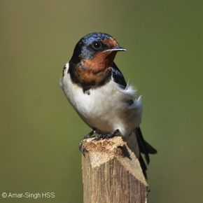 Barn Swallow – plumage