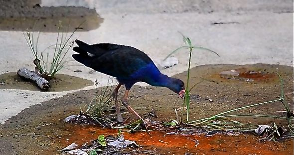 Purple Swamphen eats Kyllinga polyphylla flowering stalks