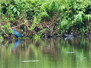 Common Moorhen and Black-backed Swamphen foraging