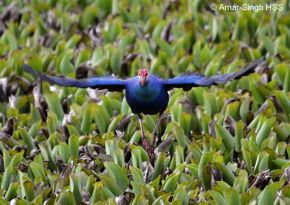 Aggressive behaviour of Purple Swamphen
