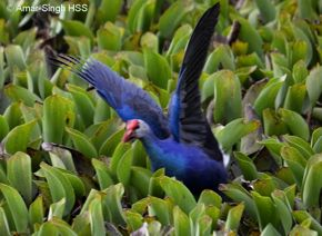 Aggressive behaviour of Purple Swamphen
