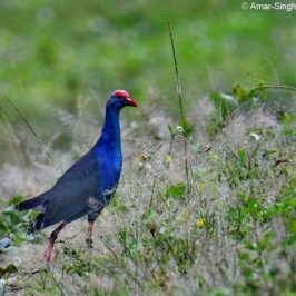 Purple Swamphen feeding on grass seeds