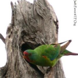 Swift Parrot prospecting nest hole outside its breeding area in Tasmania