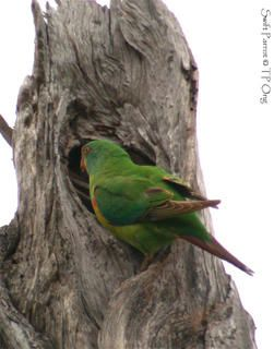 Swift Parrot prospecting nest hole outside its breeding area in Tasmania