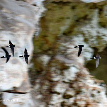 House Swift  – nesting building behaviour
