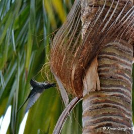 Glossy Swiftlet collecting nesting material