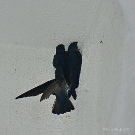 Glossy Swiftlet – nesting conflict