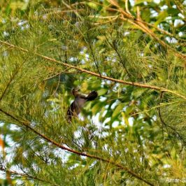 Plume-toed Swiftlet – collecting nesting material