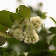 Plant-Bird Relationship: 9. Myrtaceae