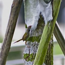 Common Tailorbird collects fibres for its nest