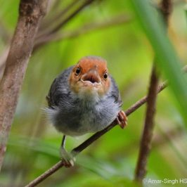Ashy Tailorbird – male warning calls