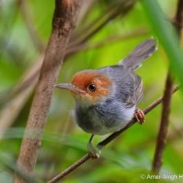 Ashy Tailorbird – male warning calls