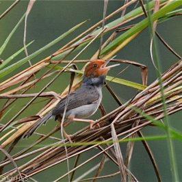 Ashy Tailorbird – vocalisation…