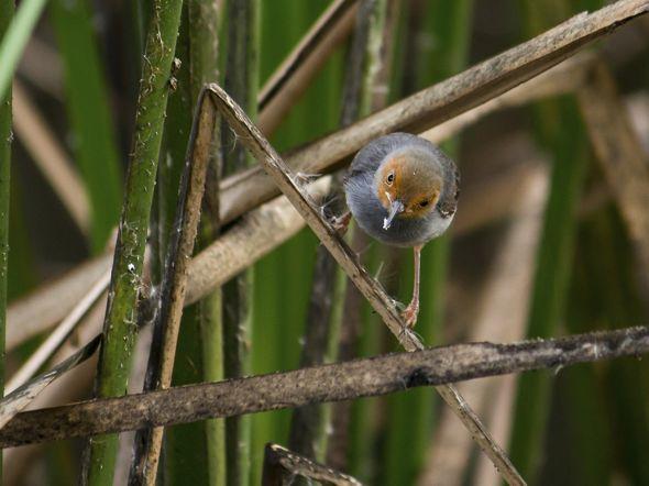 Ashy Tailorbird feeding on apple snail eggs