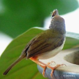©Nesting Common Tailorbirds – One Full Circle Part 5