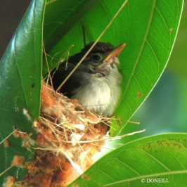 © Nesting Common Tailorbirds – One Full Circle Part 12