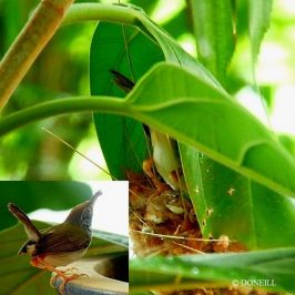 © Nesting Common Tailorbirds – One Full Circle Part 10