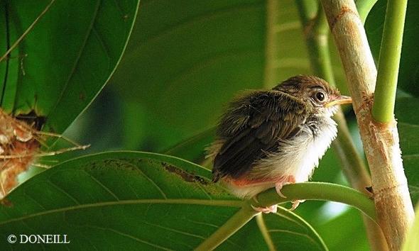© Nesting Common Tailorbirds – One Full Circle Part 13