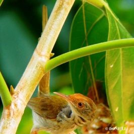 © Nesting Common Tailorbirds – One Full Circle Part 14