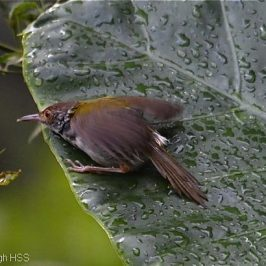 Common Tailorbird leaf bathing