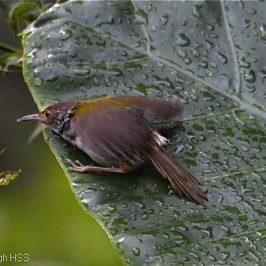 Common Tailorbird leaf bathing