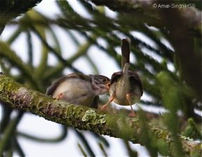 A family of Common Tailorbird in communication