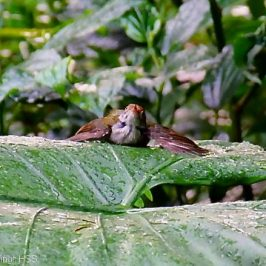 Common Tailorbird having a bath on a <em>Colocasia esculanta</em> leaf