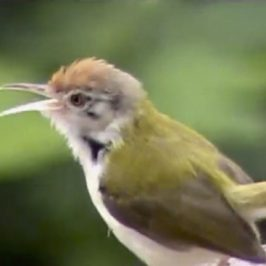 Tailorbirds in our garden