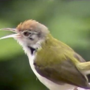 Tailorbirds in our garden