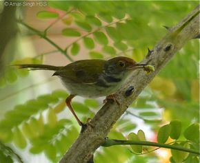 Common Tailorbird  – food for nestlings