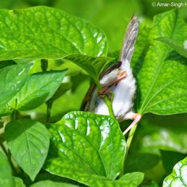 Common Tailorbird foraging